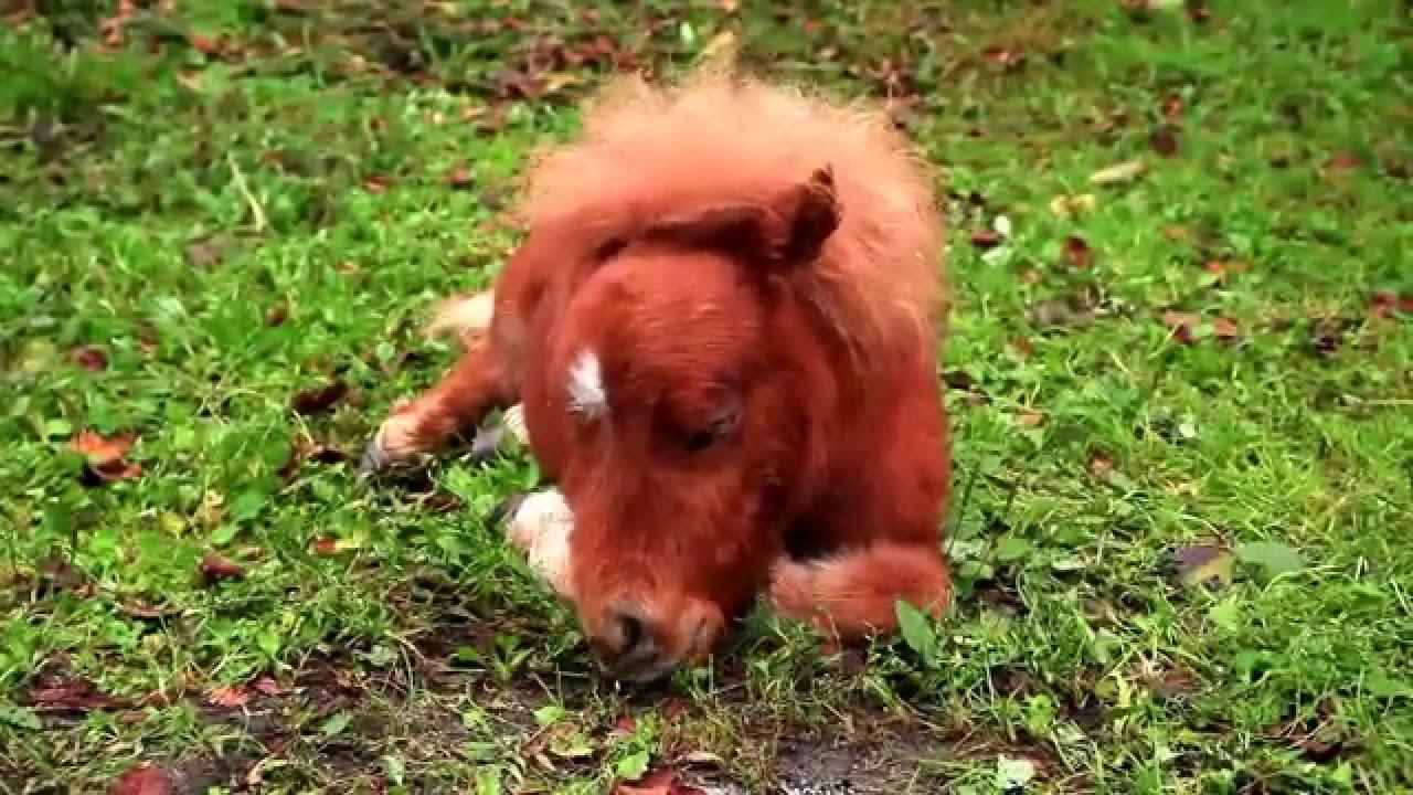 かわいいミニチュアホース そらまめ cute miniature horse pony youtube