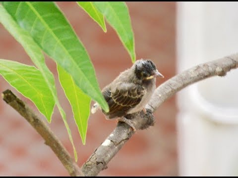 Baby Bulbul Bird's First Flight From Its Nest | Parent Birds Protecting 10 Days Old Bulbul