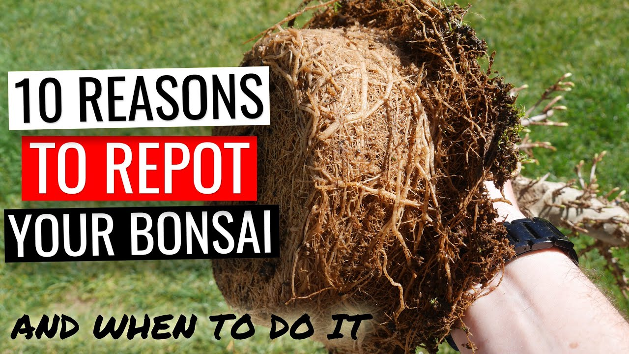 How To Repot A Bonsai Tree Part 1 Why And When You Should Repot Bonsai Made Easy August 2021