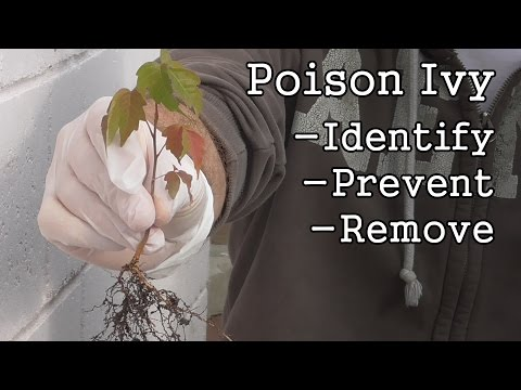 Poison Ivy How To Identify Prevent Remove
