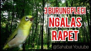 Gambar cover 3 Burung Pleci Ngalas Rapet