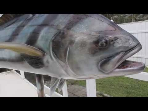 Huge Roosterfish Mount By Marine Creations Taxidermy