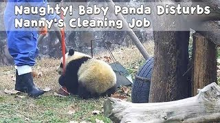 Naughty! Baby Panda Disturbs Nanny's Cleaning Job | iPanda
