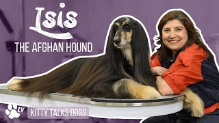 Grooming Isis the Afghan Hound | Kitty Talks Dogs  TRANSGROOM