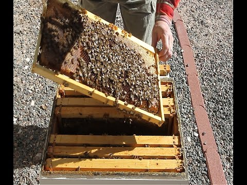 Hive Inspection Part 1:  General Principles (...and a queenless hive?)!