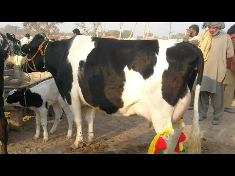 Top quality australian friesian cows available at moweshi mandi doli shaeed jhang