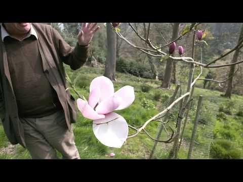 Magnolia 'Tikitere' - Caerhays Gardens