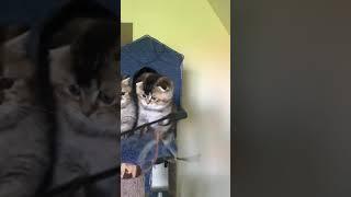 Шотландские котята , тикированные . Продажа