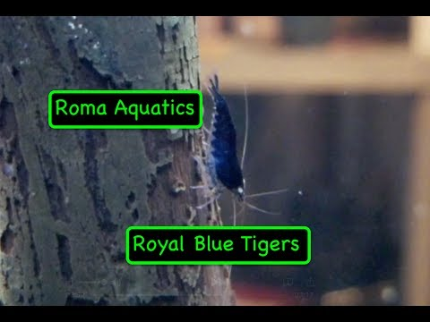 Royal Blue Tiger Shrimp Unboxing - From Jason Lin - RomaAquatics.com 🆒