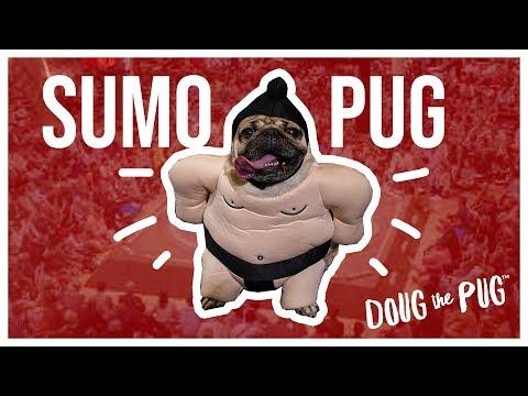 Sumo Wrestler Pug  Doug The Pug