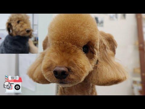 자네, 앞은 보이는가?. 푸들 베들링턴 테리어 미용 / dog pet Poodle Bedlington Terrier grooming   1310 (일삼일공)
