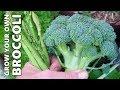 How to Grow & Harvest Broccoli