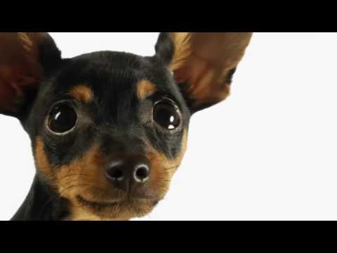 Most Amazing Facts About Miniature Pinscher