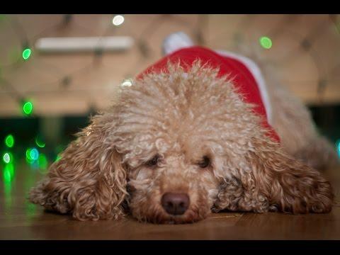 Chico- miniature poodle