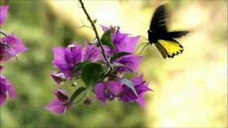 Papilionoidea: The Butterfly Belle