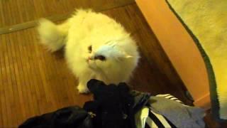 Злобный кот чихает