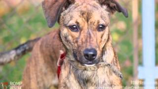 Grace - Young Brindle Whippet Mix - Available For Adoption - Romp Italian Greyhound Rescue
