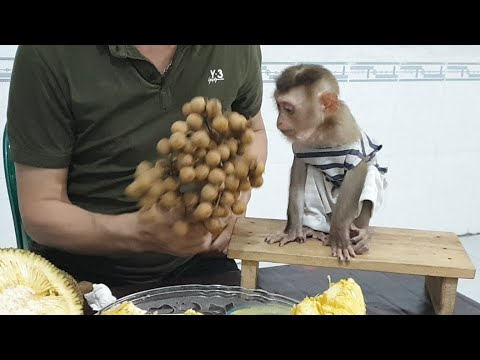 Monkey Sam Ate Fruit, Drank Milk And Play With Dad