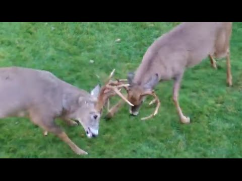 Buck Fight | Whitetail Deer go at it