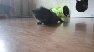 Британский котенок черного окраса Fargo MeowClub *BY