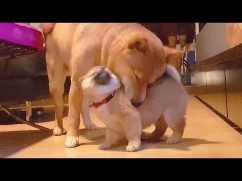 Daddo loving potat (i) - MLIP / Ep 69 / Shiba Inu puppies