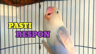 Download lagu Lovebird Jenis Apa Saja Pasti Langsung Nyaut Dengar Pancingan Lovebird Ini