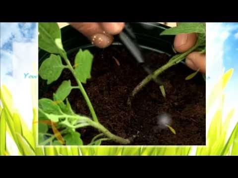 Николай Михайлович видео как нарезать ивылаживать помидоры рожденный