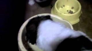 Shih Tzu Puppies Eating Dog Food