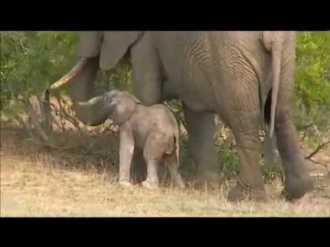 10-23-2015 WildEarth SafariLive Sunrise - amazing elephant calf