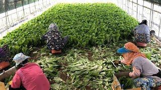 하우스 얼갈이배추 농사 수확 작업 현장
