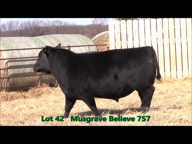 Musgrave Angus Lot 42