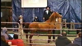 Polish Arabian Stallion - Horse Auction, Meadow Wood Farms, Snohomish WA - Miska 2002 - 3/20/2011