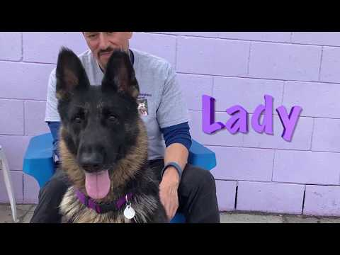 Lady: 4-year-old German Shepherd looking for her forever home!