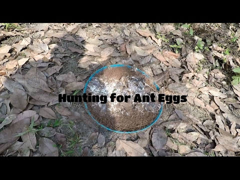 Hunting for Ant Eggs