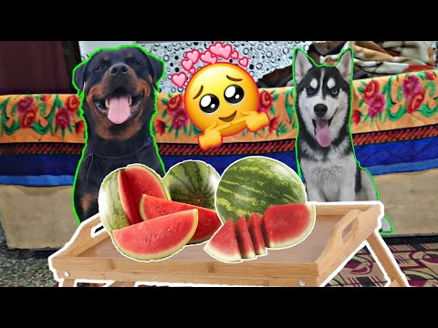 My Dogs Love watermelon || Rottweiler vs Husky || Dog Can Talk Part 26 || Review reloaded || Roxy