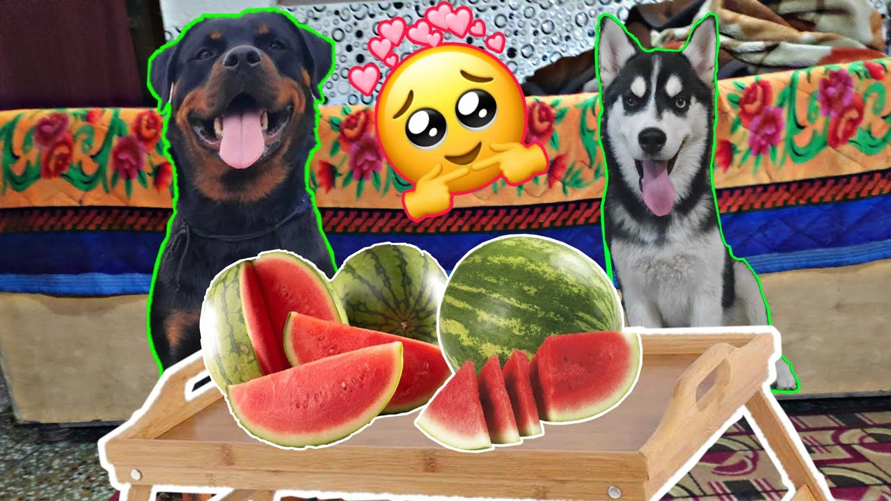Staffordshire Terrier Tries Red Juicy Watermelon , Dogs ...  |Dogs Love Watermelon