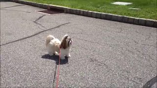 Shih Tzu Dog Lacey Doesn't Want To Go Home After Her Walk