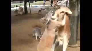 【関連動画】 ・笑えるカンガルーボクシング Hilarious Kangaroo boxing...