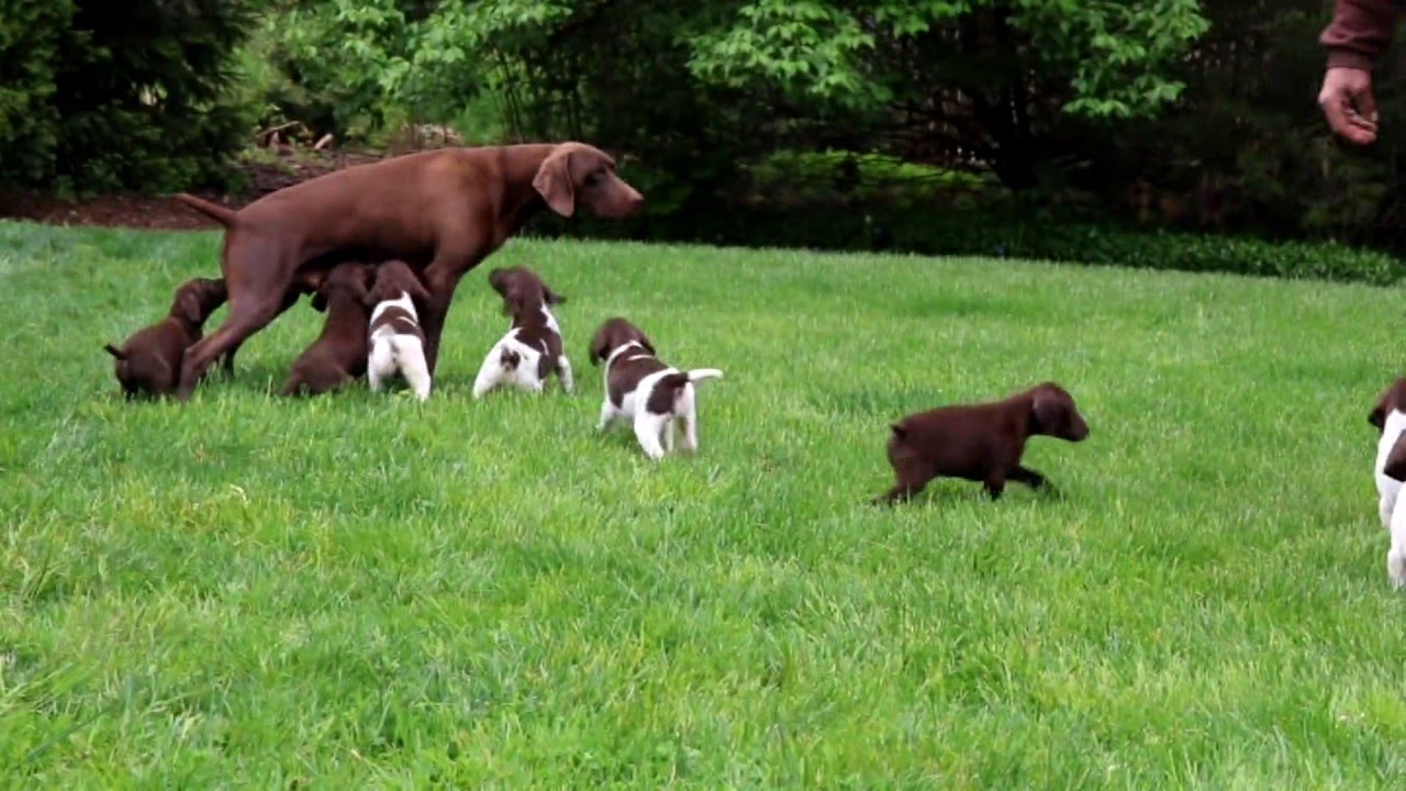German Shorthaired Pointer Puppies For Sale Youtube