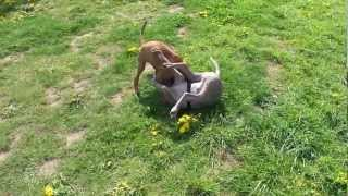 Young Weimaraner And Rhodesian Ridgeback Having Fun