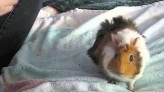 Training you guinea pig the