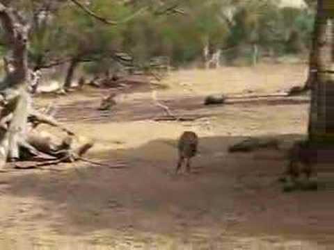 Kangaroo's In Hobart