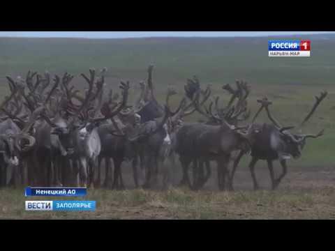«Россия-1 Нарьян-Мар HD» Александр Цыбульский: «Без оленеводства экономика нашего округа невозможна»