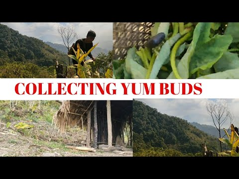COLLECTING FRESH YAM BUD LEAF|ATO#INGKANGSHU#