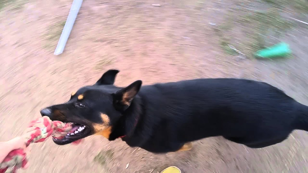 Rottweiler Mixed With Husky And German Shepard | www ...