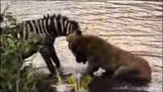 Zebra Vs. Lion