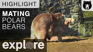 Polar Bears Mating - Ouwehand - Live Cam highlight thumbnail