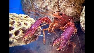ショウグンエビ Red reef lobster,Hairy lobster Enoplometopus occidentalis