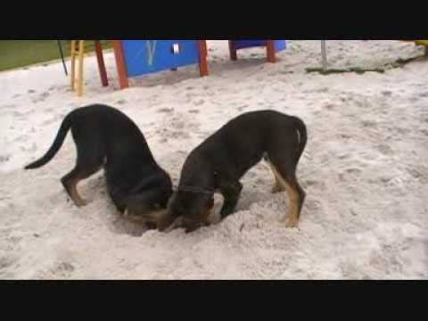 Australian Kelpie Pups playing in Sand