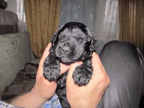 Щенки Русского Черного Терьера Собака друг человека
